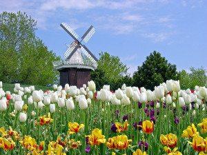 Tulipaner og vakre parker finnes det mange av i Amsterdam – spesielt om våren er dette et flott skue.